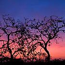 Sunset Through Fire Ravaged Banksia- Munglinup WA by Chris Paddick