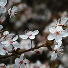 Spring Blossom Dance On The Branch by Joy Watson