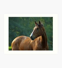 bay arabian horse portrait Art Print