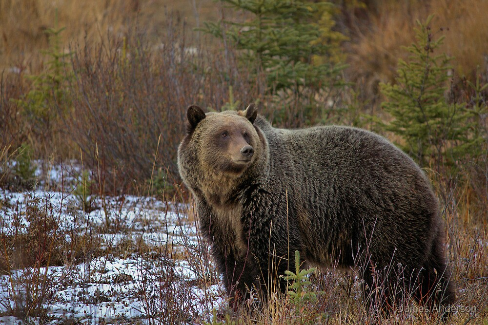 Grizzly Bear - The Kootenay by JamesA1