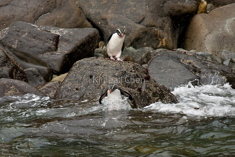 Fiordland Crested Penguin by Kimball Chen