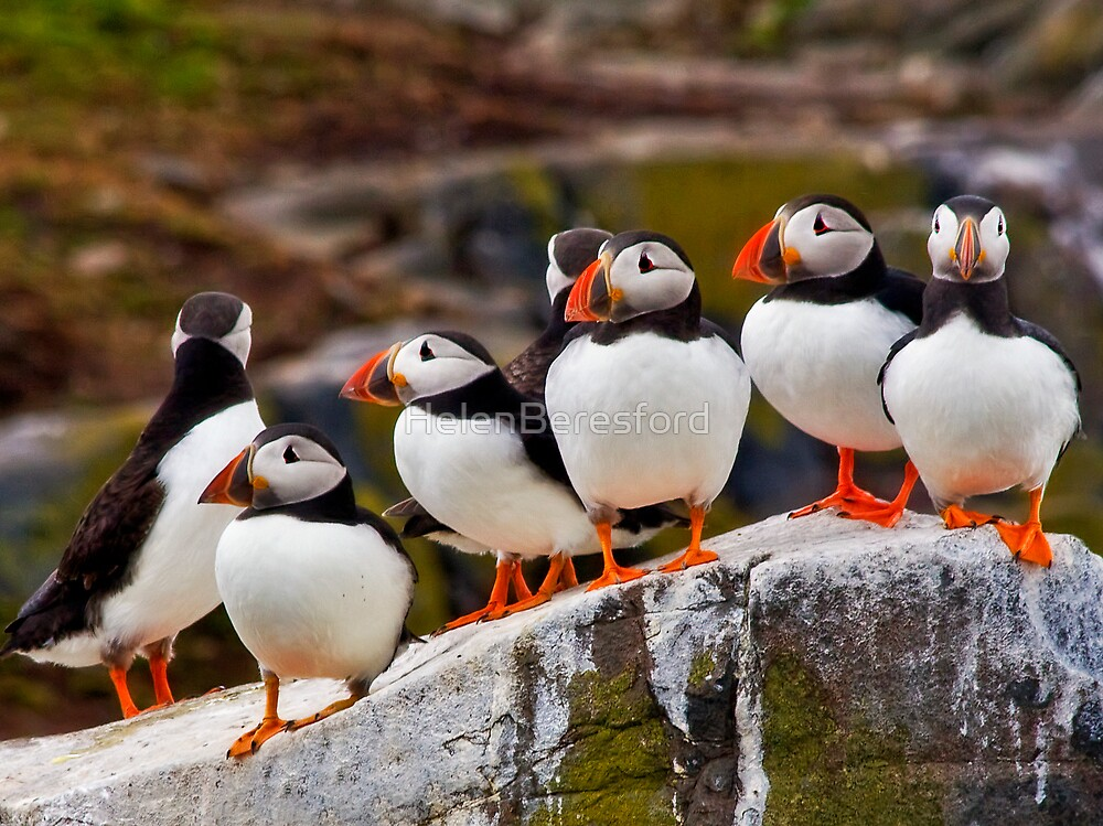 A Circus of Puffins by HelenBeresford