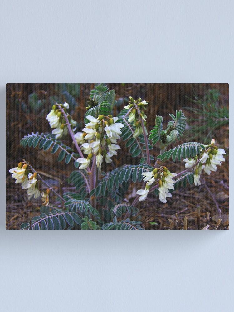 Alternate view of Astragalus lusitanicus Canvas Print