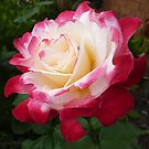 Double Delight as a full bloom by EdsMum