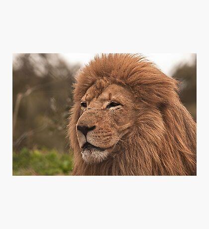 Lion At Werribee Photographic Print