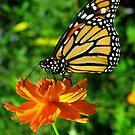Wandering Monarch by Vanessa Barklay