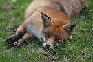 Sleepy Fox by Peter Barrett