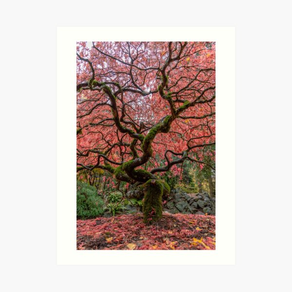 Winding Maple Art Print