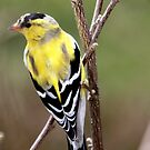Male American Goldfinch~ Breeding Colors by Renee Blake