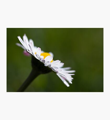 Shallow Daisy Photographic Print