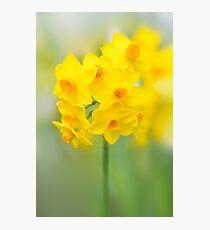 Daffodil Joy Photographic Print