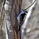 Woodpecker by HALIFAXPHOTO