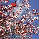 Cheery Blossom,  by Finbarr Reilly