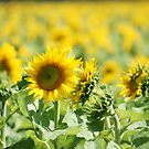 Crop of Sunflowers in western district by trishringe