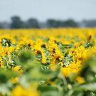 Sunflowers by trishringe