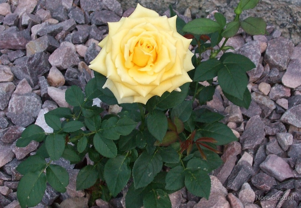 Soft Yellow Rose  by Nora Caswell