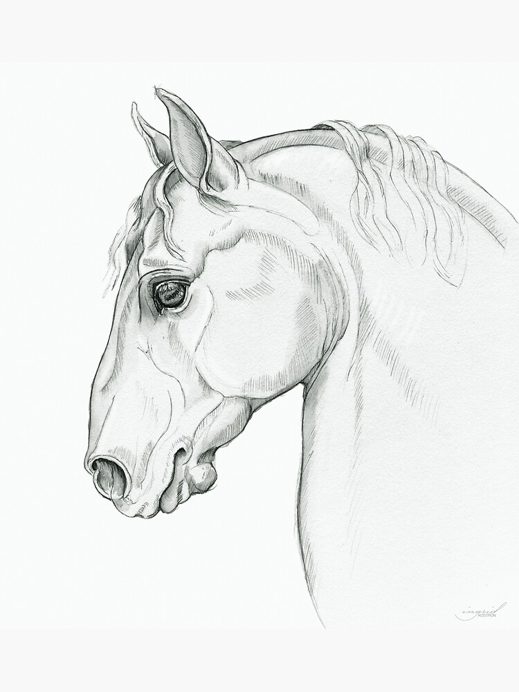 Baroque — Lippizaner Horse Head Study by Toadpony