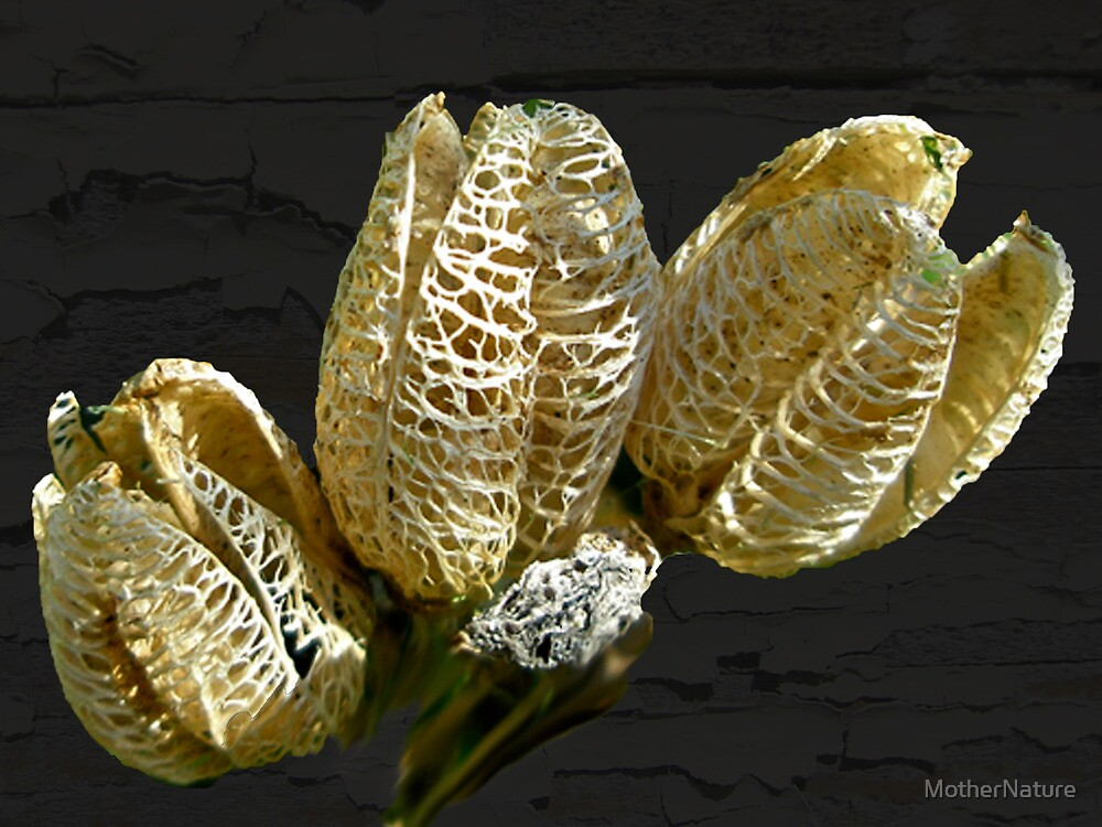 dried lily seed pods by mothernature redbubble