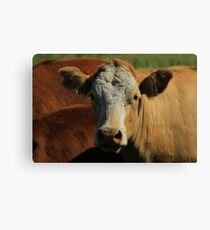 Cow on the Prairies Canvas Print
