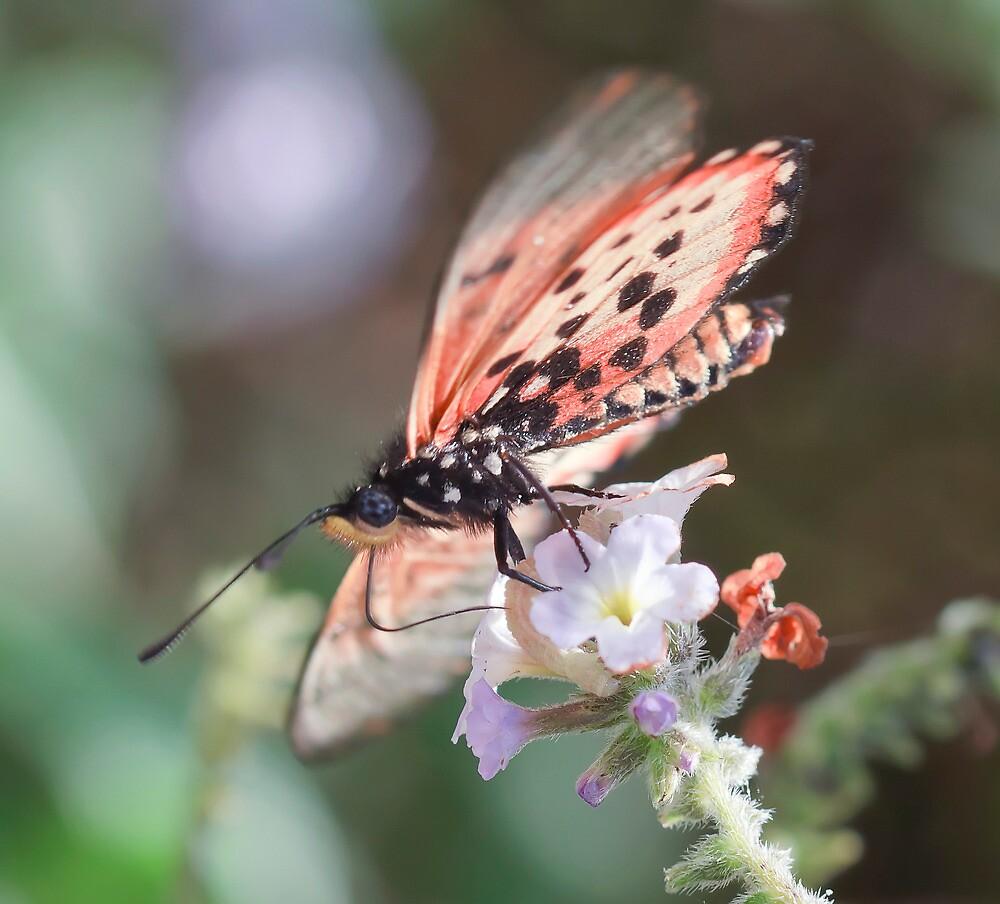 Acraea neobule by Ann  Palframan