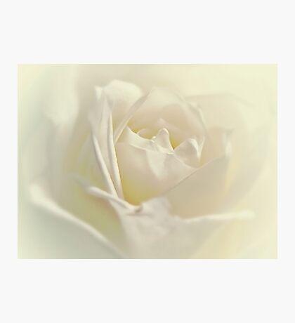 Soft White Rose Photographic Print