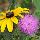 Black Eyed Susan and Bull Thistle by Tracy Wazny