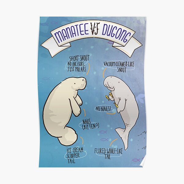 Manatee VS Dugong: an educational poster with a bit of humour illustration Poster