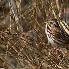 Song Sparrow Singing for Spring by Robert Miesner