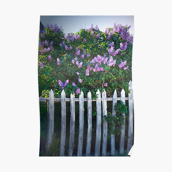 Lilac Fence Poster