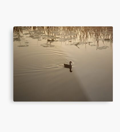 COOT IN BRONZE LIGHT Metal Print