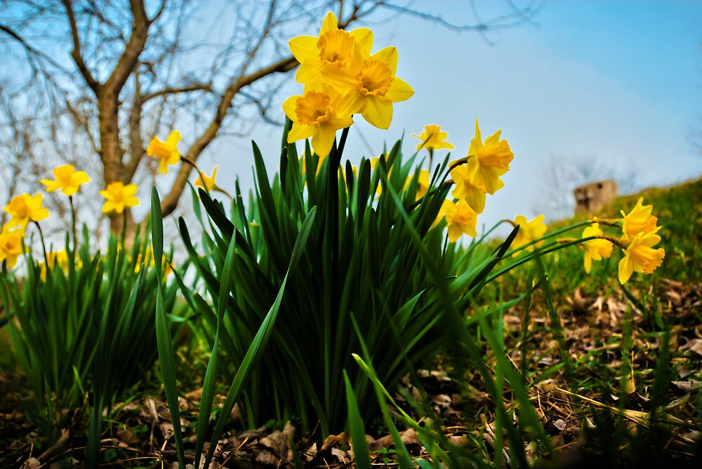 Daffodils Have Arrived by Jeanne Sheridan