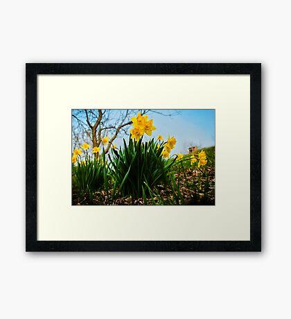 Daffodils Have Arrived Framed Print