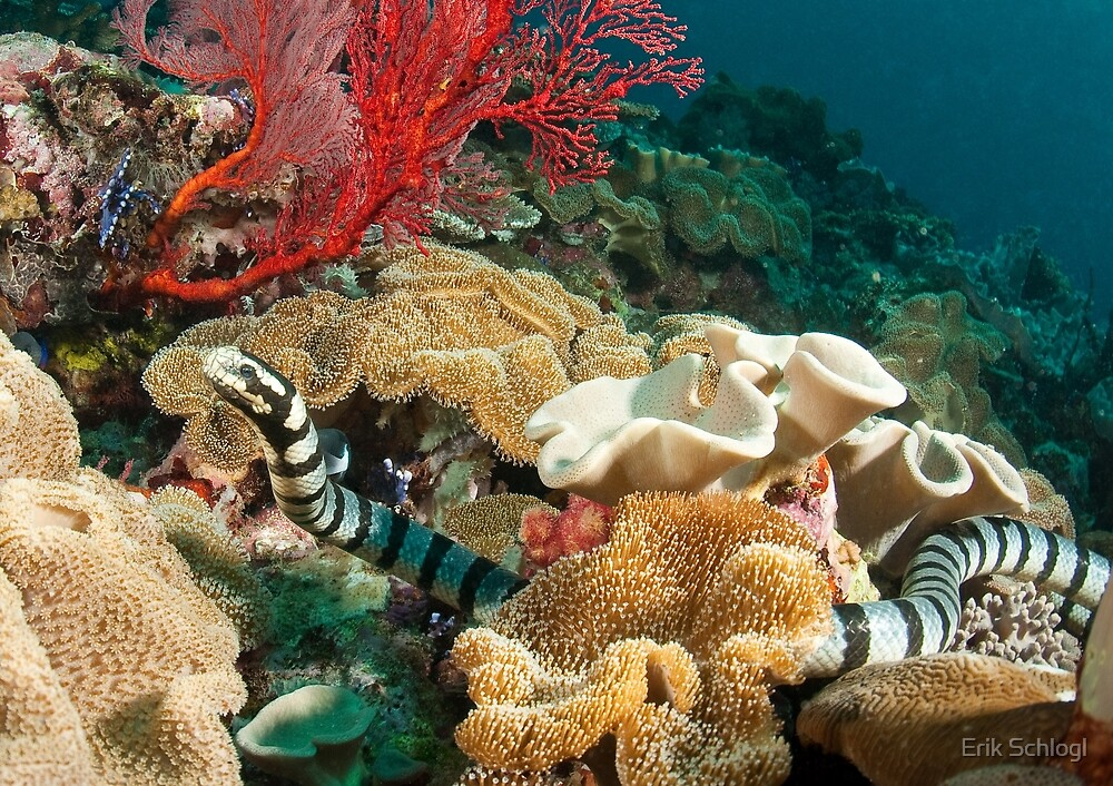 Quot Banded Sea Krait Off Port Moresby Papua New Guinea Quot By