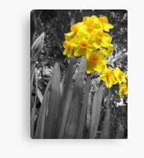 Daffodils @ Dad's  Canvas Print