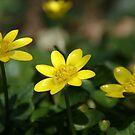 Lesser Celandine by marens