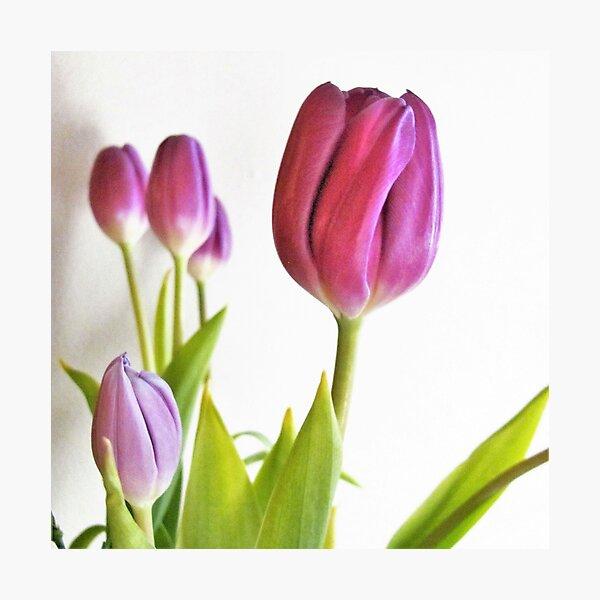 Pretty Purple Tulips Photographic Print