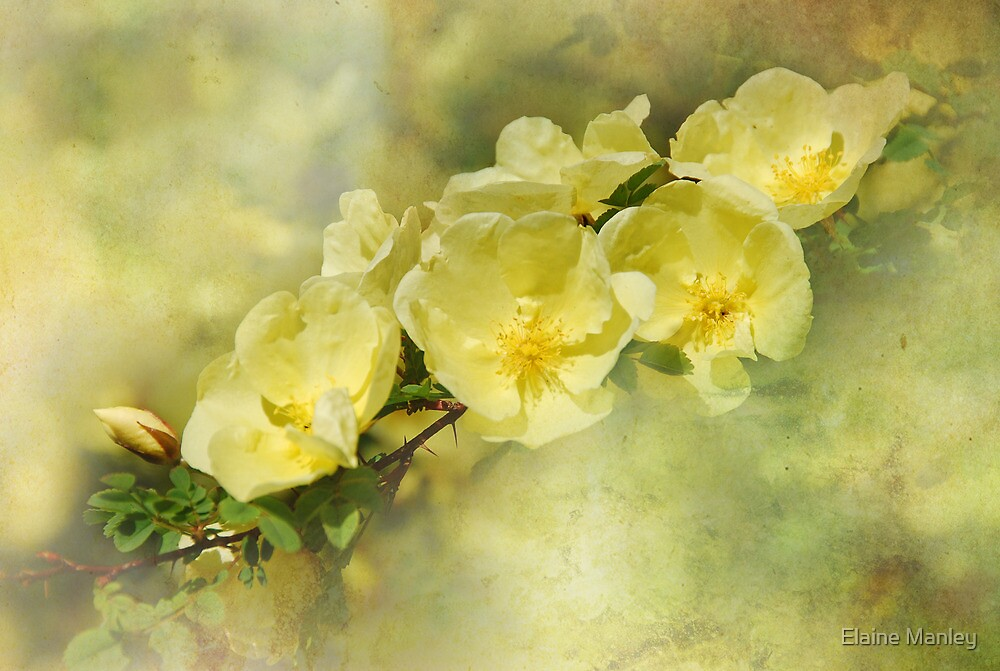 Yellow Roses by Elaine  Manley