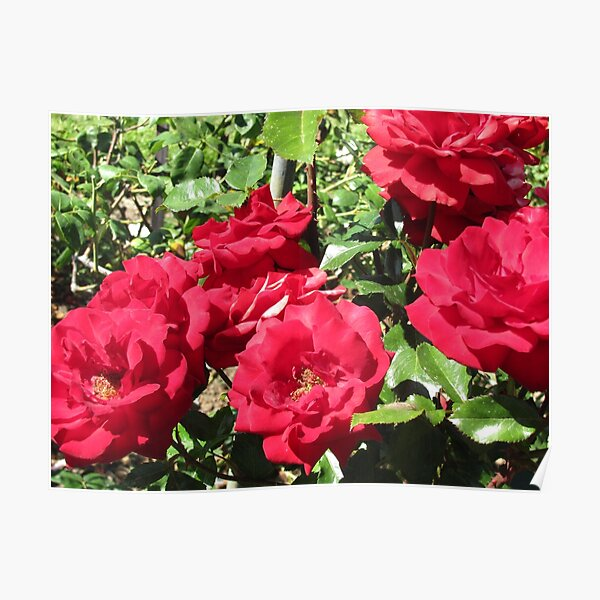 Bed Of Beautiful Red Roses Poster