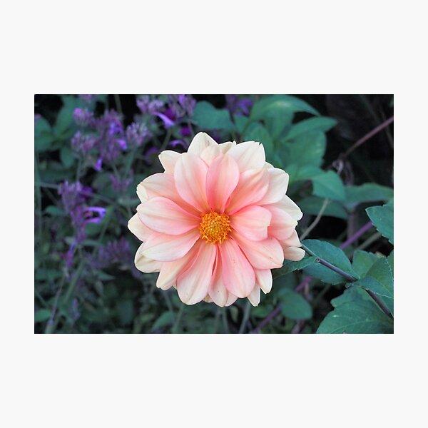Blooming Blush Pink Dahlia Photographic Print