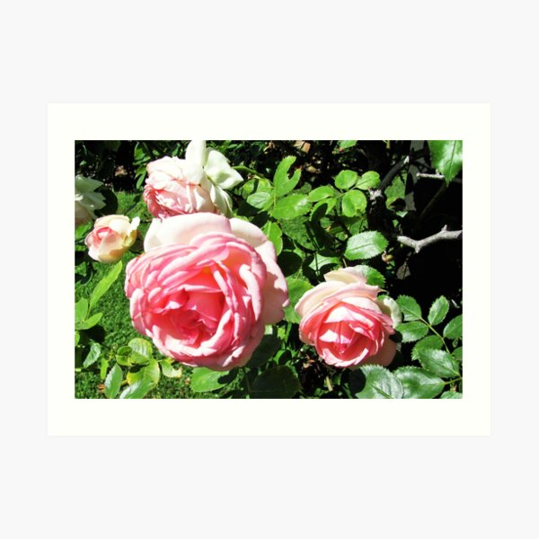 Roses Are Pink Art Print