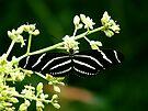 Zebra Longwing Butterfly by Marcia Rubin
