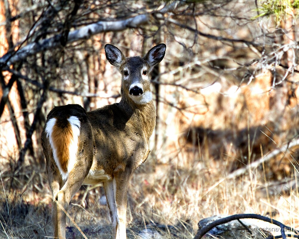 Whitetail doe in March by amontanaview
