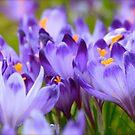 Less is more . Polish Spring -  Crocus Sativus/Safran. by Brown Sugar . Views: 1143 .Thanks Friends !!! by © Andrzej Goszcz,M.D. Ph.D