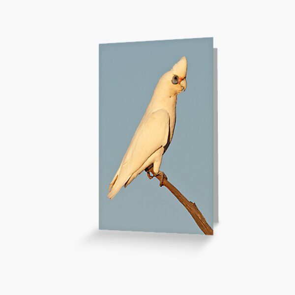 Little Corella - Kilcowera Station Greeting Card