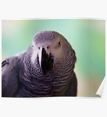 African Grey Smile Poster