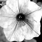 Summer Poppy by brucejohnson