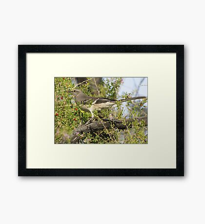 Northern Mockingbird Framed Print
