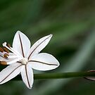 One of Natures Tiny Stars by Berns