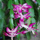 Millie's Christmas Cactus by Marjorie Wallace