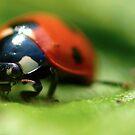 Ladybug Stare by EventHorizon